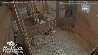 Download April the Giraffe delivered her calf Video
