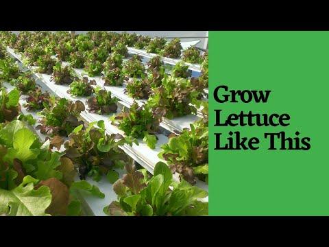 NFT Lettuce Table