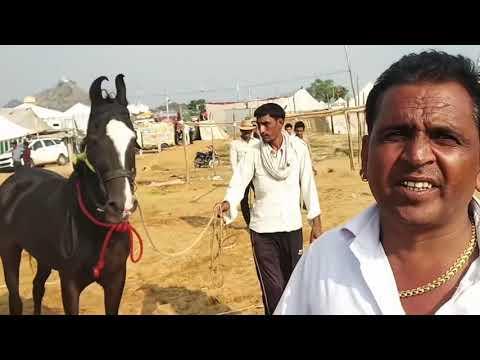 Xxx Mp4 Marwari Horse तूफान लाइन का तूफानी घोड़ा आया गुस्से में 3gp Sex