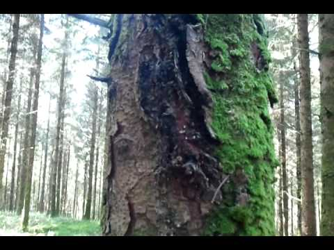 Treating trees with fungal infections, Raheen Wood near Scariff, Co. Clare - Agrohomeopathy Course