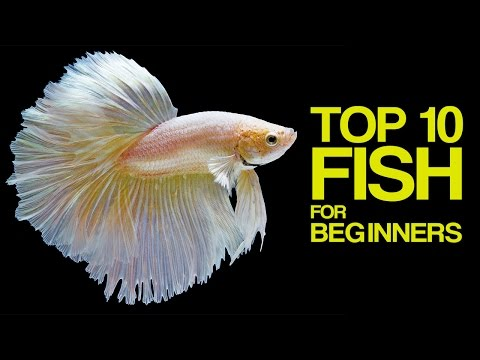 Top 10 Aquarium Fish for Beginners