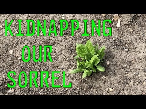 Kidnapping our sorrel - We don't have a garden plot! 2018