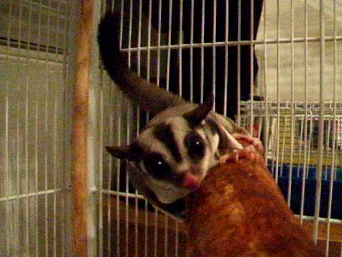 Sugar Glider Barking