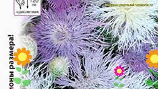 Василек мускусный. Краткий обзор, описание характеристик, где купить семена Centaurea