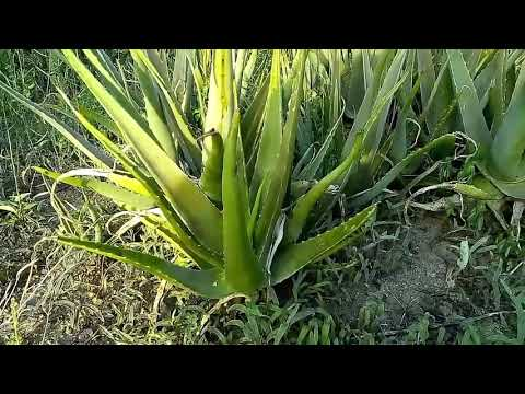 Aloe Vera plant growing in IBS solipet. Very good for health