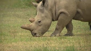 These northern white rhinos are the last of their kind
