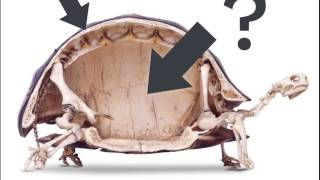 Could a turtle live outside its shell?