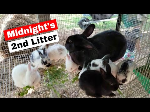 Baby rabbits: Midnight's 2nd Litter 3 weeks old
