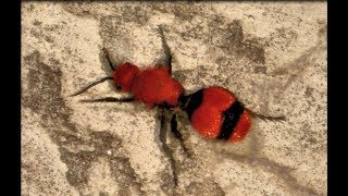Download Red Velvet Ant or Cow Killer its really a Wasp! They look like big red and black ants. Video