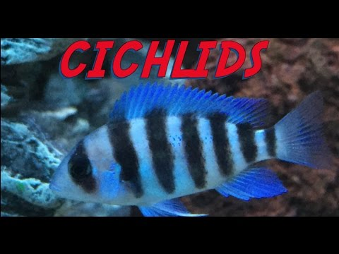 African Cichlids - 5 Tips to keep your fish Happy & Healthy  :) -  Cichlids -
