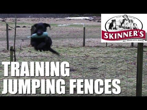 Gundog training tips - Jumping fences