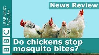 BBC News Review: Do chickens stop mosquito bites?