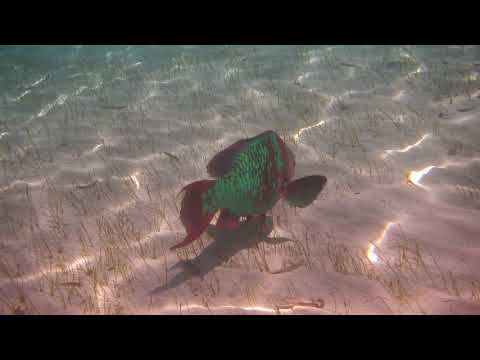 January 11 2018   Old Parrot Fish eating
