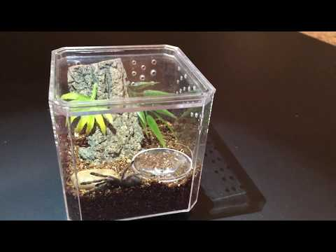 Spiderling Enclosure Setup