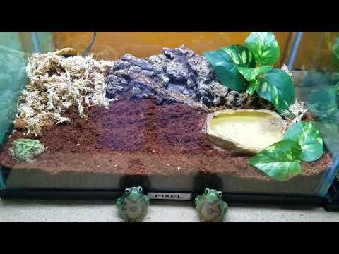 Pacman Frog Feeding