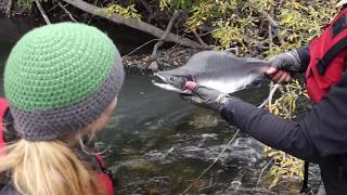 Salmon Spawning and Catch & Release by Hand!