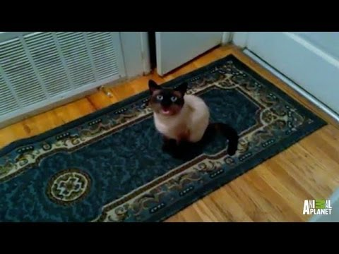 Vincent the Siamese Just Wants Out | My Cat From Hell