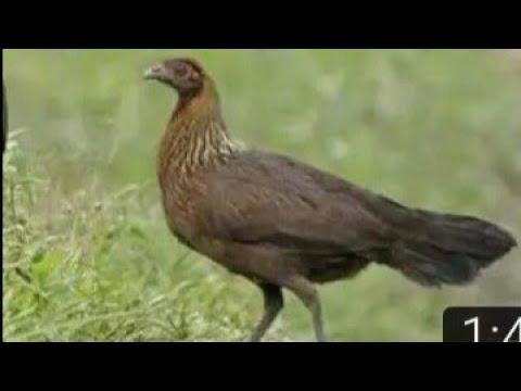Wow....Amazing chicken in cambodia