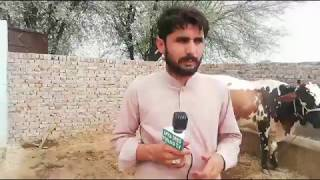 Sahiwal freezin cros cow for sale in Pakistan on YouTube 16-7-2019