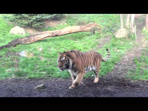 Dublin Zoo wake up call - tiger fight