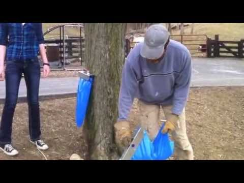 Maple Syrup Tips: Buckets and the Observation Tree
