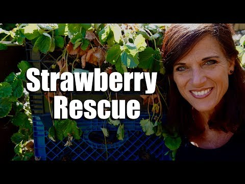 Strawberry Plant Rescue After a Triple Digit Heat Wave