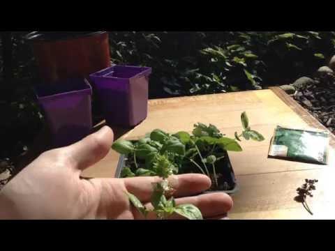 Basil Seed Saving & Sowing