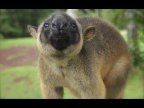 Tree Kangaroo Rescue