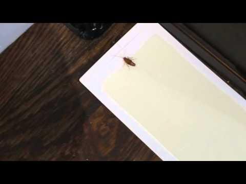 Roach War II: Update.  This is a pregnant female german roach