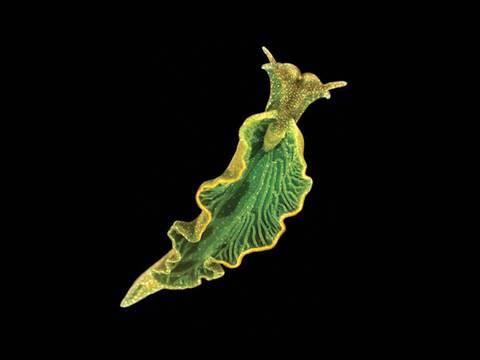 Animal e vegetal ao mesmo tempo? Lesma marinha faz fotossíntese após roubar genes de algas