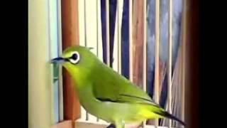Kicau Pleci Betina Melatih Pleci Jantan Gacor Download Mp3 Mp4 3GP HD Video