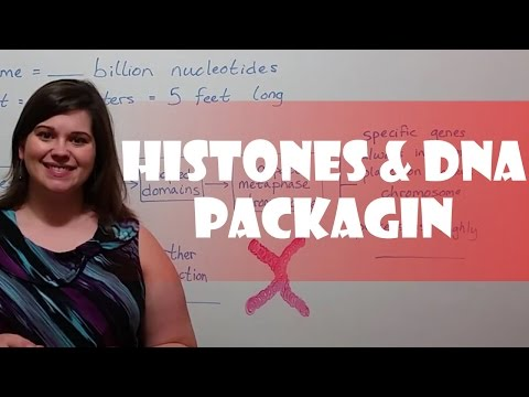 Histones And DNA Packing