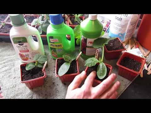Complete Guide for Growing Cucumbers: Seed Starting, Transplanting, Fertilizing, Trellsing & Pests