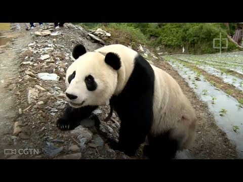 A giant panda makes a surprise visit to a Chinese village