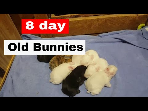 Baby Bunnies: Scarlett's 2nd Litter 8 days old