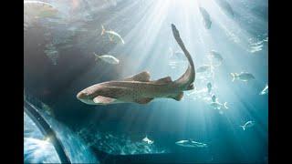 Zebra Shark feeding   Ripleys Aquarium of Canada
