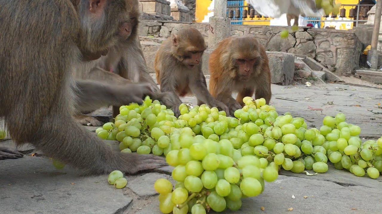 feeding 25 pounds Grapes to the hungry monkey