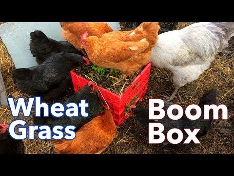 Wheat Grass Boom Box!