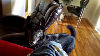 Wolfdog Misses Her Mom