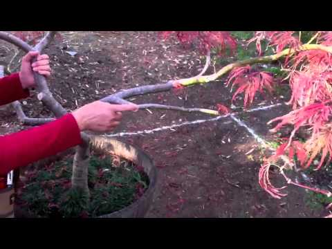 The Art of Pruning Japanese Maples Part 3