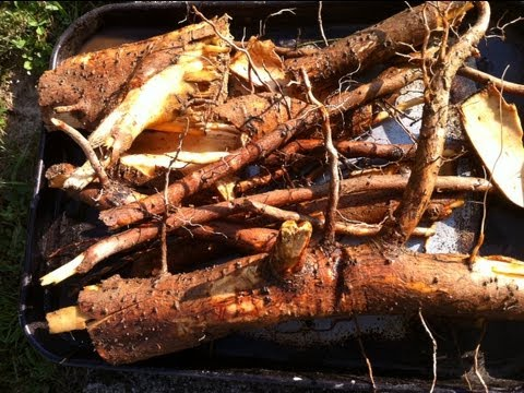 sassafras root digging video