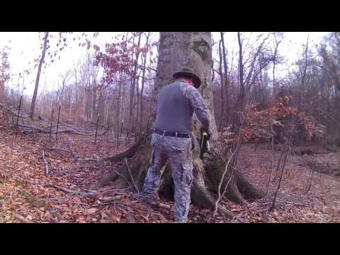 Beech Tree Age