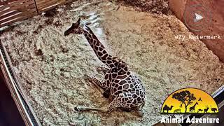 April The Giraffe: Start of Labor 2019