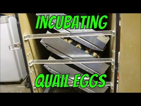 Incubating Quail Eggs