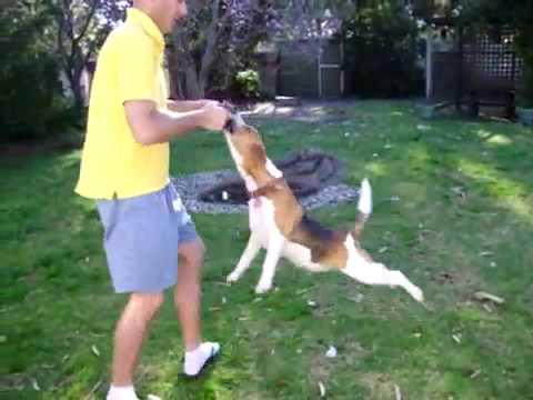 Acrobat Beagle