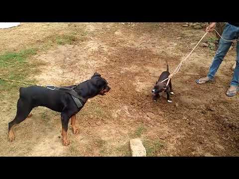 pitbull dog attack on rottweiler