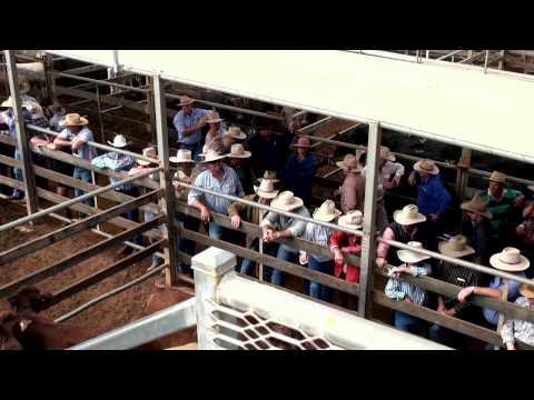 Roma Cattle Sale
