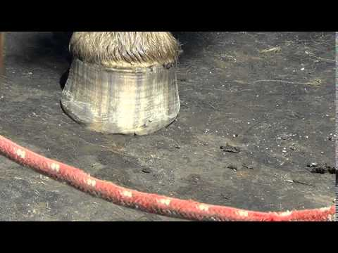 Chipped Horse Hoof Care - Fixing It With A Trim & Rasp - Part 2 of 2