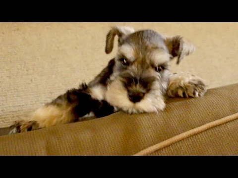 Frustrated Puppy Can't Get Up On Couch