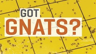 Fungus Gnats How To Get Rid Of Them
